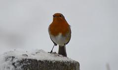 Robin (lcfcian1) Tags: leicestershire snow snowing robin birds nature animal newtonharcourt newton harcourt wistow animals flight