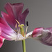 Tulip Beauty. . .