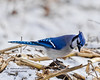 A storm is coming so hurry up for lunch... (Normand Lafrenière) Tags: aninals animaux oiseau bird bluejay cornfield snow storm winter tempête hiver champs maïs bleu