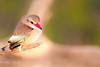 Pigmy Kingfisher (mayekarulhas) Tags: krugerpark mpumalanga southafrica za kingfisher pigmy canon canon500mm bird avian wildlife wild safari