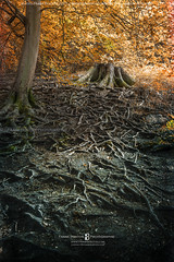 Roots (Frank Boston Photographie) Tags: forest woods nature outdoors tree roots ground soil brown leaves season shade stump green trunk nobody wood tranquil old foliage life plant moss landscape environment bark day lush growth strength wild peaceful
