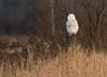 First of the Season (Hawk_eye_68) Tags: nonurbanscene ruralscene grass field seasons meadow snowy wilderness owl snowyowl wildlife bird
