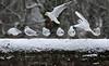 Black-headed Gulls (steve whiteley) Tags: bird birdphotography animal wildlife wildlifephotography nature snow gull blackheadedgull