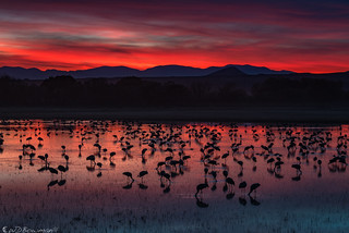 Cranes at Dusk - Peace on Earth, or Cranes on the water, fire in the sky