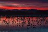 Cranes at Dusk - Peace on Earth, or Cranes on the water, fire in the sky (Bill Bowman) Tags: sandhillcranes gruscanadensis bosquedelapache bosquedelapachenationalwildliferefuge newmexico sunset sanmateomountains