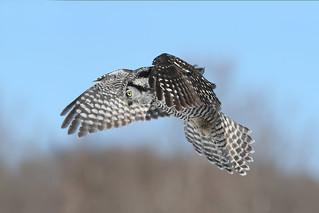 Chouette épervière / hawk owl