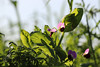 CKuchem-2197 (christine_kuchem) Tags: acker ackerrand agrarlandschaft biene bienenfreund bienenweide blühstreifen blüte boden bodenverbesserung dünger düngung eiweis eiweiserbsen erbsen feld felder grün gründünger insekten klee kulturlandschaft landwirtschaft lupinen mischung nahrung nektar phacelia pisumspec ramtillkraut sommer verbesserung winter winterroggen bio biologisch blau lila naturnah natürlich