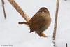 Eurasian wren (Troglodytes troglodytes) (Svitlana Tkach) Tags: wild wildbird bird nature wildlife birdwathing passerines troglodytestroglodytes gærdesmutte eurasianwren wren крапивник zaunkönig chochíncomún troglodytemignon scricciolo ミソサザイ carriça gärdsmyg 鹪鹩 oriešokobyčajný strzyzykzwyczajny winterkoning misosazai músarrindill peukaloinen střízlíkobecný