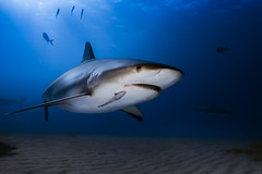 Caribbean reef shark - The Bahamas (lucien_photography) Tags: shark underwater blue requin bahamas scuba diving sea animal nature wildlife tigerbeach scubadiving g7x seasea