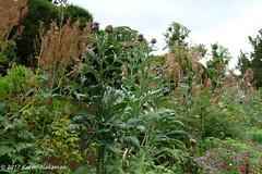 Caversham Court Gardens, July 2017 (3) (karenblakeman) Tags: caversham uk cavershamcourtgardens flowers thistle herbaceousborder july 2017 reading berkshire