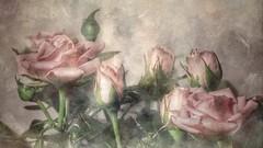 Rosas de Navidad (Marina Is) Tags: rosas roses pastel pastelcolors christmasroses pinkroses