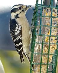 Downy Woodpecker female_11Dec2017 (Bob Vuxinic) Tags: bird downywoodpecker picoidespubescens female suetfeeder cumberlandplateau crossvilletn 11dec2017