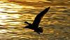 L'ange noir (Diegojack) Tags: préverenges vaud suisse oiseaux silhouettes mouettes lumières dorée cuivre vol