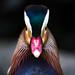 Mandarin duck face