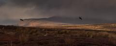 Bleak (Peter Quinn1) Tags: bamfordmoor derwentmoor redgrouse december bleak moorland flypast