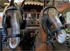 Attelage de la Chevaline 132, Musée des transports en commun de Wallonie, Liège, Belgium (claude lina) Tags: claudelina belgium belgique belgïe liège musée museum muséedestransportsencommundewallonie chevaux horses chevaline