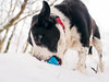 the important business continues, despite the weather!-4 (grahamrobb888) Tags: nikon nikond800 d800 nikkor nikkor20mmf18 winter white woods wideangle cold snow snowwoods birnamwood birnam perthshire scotland quiet tranquil zac dog pet ball blue fun furry busy whatido