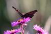 CKuchem-9783 (christine_kuchem) Tags: blüte blüten edelfalter falter garten gartenstaude herbst herbstaster herbstgarten inachis naturgarten nymphalidae staude stauden staudengarten tagfalter tagpfauenauge lila naturnah natürlich