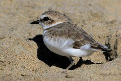 Western Snowy Plover (Charadrius alexandrinus nivosus) (Mike Forsman) Tags: nature animal bird shorebird plover snowyplover westernsnowyplover charadriusalexandrinusnivosus little small tiny cute threatened endangered beach sand malibulagoonstatebeach malibu losangeles california nikond7100 nikkor80400mmvr mikeforsman archives