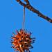 Sweetgum - Liquidambar styraciflua, Occoquan Bay National Wildlife Refuge, Woodbridge, Virginia