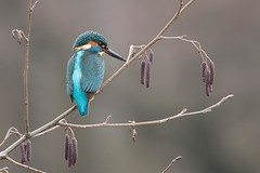 KINGFISHER (Trevsbirds) Tags: kingfisher