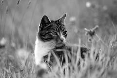 Cat's watchful gaze (Zèè) Tags: cat chat cats gato gatto grass black bw blanc blackandwhite white wildflower monochrome tabby tigre noir