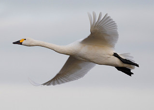 BEWICK SWAN ....Happy new year everyone.