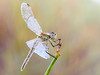colores tierra (Santi BF) Tags: sympetrumfonscolombii libélula libèl·lula dragonfly odonato odonata aproximación anisóptero anisoptera bicho bug