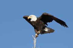 Bald Eagle Landing In A Tree (fethers1) Tags: rockymountainarsenalnwr rmanwr rmanwrwildlife coloradowildlife bird raptor baldeagle