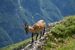 Stambecco. Ibex. (omar.flumignan) Tags: ibex stambecco young giovane montasio forcadeidistesis fvg friuliveneziagiulia mount canon 7d ef100400f4556lisusm ngc