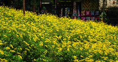 Flower plantation in spring (phuong.sg@gmail.com) Tags: agricultural agriculture background beautiful bloom blossom bokeh bright canola closeup color colza countryside crop energy environment environmental farm farmland field flora floral flower growth industry landscape meadow natural nature orange outdoor plant pollen rapeseed rural season seed spring summer yellow