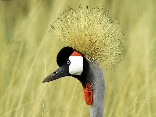 Grey Crowned Crane Seronera_8141