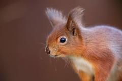 Red Squirrel portrait 6977(6D3) (wildlifetog) Tags: red southeast squirrel portrait canon closeup alverstone isleofwight uk mbiow martin blackmore britishisles britain british england european eos6d wild wildlifeeurope wildlife nature