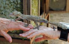 The handoff (LeftCoastKenny) Tags: madagascar day13 lamandrakanaturefarm gecko hands