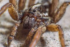 Lycosa erythrognatha (yonatancruz) Tags: