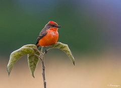 A Welcome Vagrant (Omnitrigger) Tags: vermilionflycatcher santaclaracounty nature wildlife vagrant