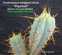 "Trichocereus bridgesii variety-clone ""Psycho0"" (Pic #4 apex detailed) (mattslandscape) Tags: trichocereus bridgesii variety psycho0 psychoo pshyco plant cactus cacti kakteen plants rareplants clone hybrid"
