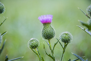 Dew Covered Thistle