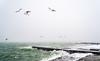 sea life (photoksenia) Tags: sea storm wind waves winter water blacksea sky bird