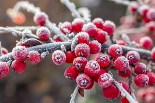Frozen Red Berrries
