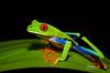 FirstRedEye1 (TRAdamson Photography) Tags: costarica costa rica rainforests travel centralamerica puravida frog frogs amphibians tropicalfrogs redeyedtreefrog treefrog treefrogs red redeyed eyes herping herpetology herps costaricanherps costaricanrainforests
