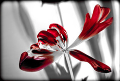 The Tulip. (CWhatPhotos) Tags: red selective partial select light photographs photograph pics pictures pic picture image images foto fotos photography artistic cwhatphotos that have which with contain olympus digital camera lens em5 mkii samyang fisheye 75mm aspherical manual micro macro flowers flower nature color colour colors colours vibrant closeup close up tulipa tulip heads head shadowed shadow shadows lidl wide fish eye view shot beauty beautiful