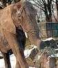 african elephant Ouwehands BB2A1043 (j.a.kok) Tags: olifant elephant afrikaanseolifant africanelephant africa afrika animal ouwehands mammal zoogdier dier ouwehandsdierenpark herbivore snow sneeuw