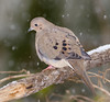 Snowy Mourning Dove (tresed47) Tags: 2017 201712dec 20171209homemisc birds canon7d chestercounty content december dove fall folder home pennsylvania peterscamera petersphotos places season takenby us ngc