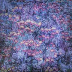 355/365 Winter Berries (Jane Simmonds) Tags: berries iphone multipleexposure winter abstract 355365 3652017 cotoneaster