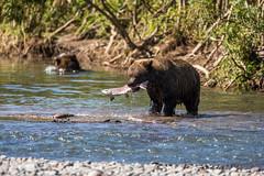 Kamchatka Brown Bear (Leif Jönsson) Tags: rysslandkurillake bear brownbear kamtjatka brunbjörn kamtjatkabjörn russia ryssland kamtjatkakraj ru wildlife travel wildnature salmon september kamchakta kamchatkabrownbear kamtjaktabrunbjörn