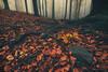Dark Forest Tales (Janos Puskas) Tags: forest woodland salgóbánya autumn autumncolours fall aloneintheforest fog foggy misty scary uwa tokina116 tokina1116 outdoor beechforest stone roots