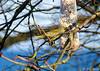 Verdier d'Europe (jean-daniel david) Tags: oiseau nature verdier arbre branche réservenaturelle hiver bokeh ciel