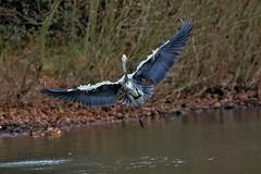 heron in flight (stellagrimsdale) Tags: heroninflight heron hollowpond bird inflight flying water pond