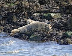 Halichoerus grypus (Grey Seal) - Firth of Forth (Ermintrude73) Tags: seal seals sealife water firthofforth boattrip wildlife scotland rocks seaweed halichoerus halichoerusgrypus grayseal greyseal